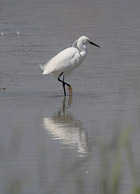Little Egret at Radipole Weymouth