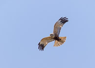 Marsh Harrier been breeding at Radipole since 2009