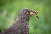Female Blackbird collecting bugs for breakfast - Seatown Dorset