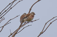 Linnets at Seatown Dorset