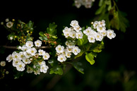 Hawthorn Blossom at Elthorne Park