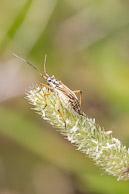 Miridae, Leptopterna dolabrata