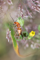 Hogweed Bonking Beetle ie Soldier Beetle