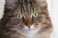 Cat_Minksy-15.jpg