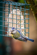 Blue Tit on a feeder in my Norwood Green Garden