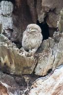 a juvenile little owl