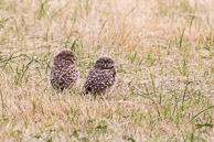 juvenile little owls patiently waiting at Warren farm for their supper