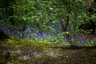 Bluebell woods back of Elthorne Park