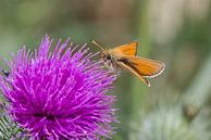 Essex Skipper Butterfly on Spear Thistle at Warren Farm