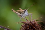 Field Grasshopper in my garden