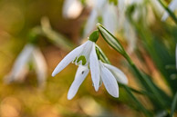 Snowdrops at Osterley Park
