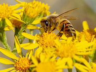 Honey Bee collection pollen from Ragwort at Warren Farm